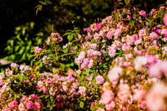 Wild Pink Roses On Village House Garden. Wild pink roses on the garden of a small cozy village house located in Marmara region of the country Turkey Stock Images