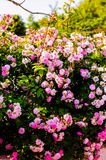 Wild Pink Roses On Village House Garden. Wild pink roses on the garden of a small cozy village house located in Marmara region of the country Turkey Royalty Free Stock Photo