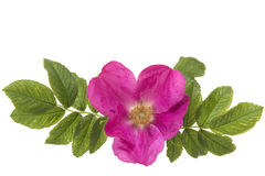 Wild pink roze with on the left and right leaves. Isolated on a white background Stock Photo