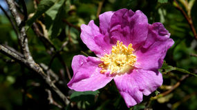 Wild Pink Rugosa Rose Stock Photos