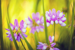 Wild pink spring flowers on green meadow Royalty Free Stock Image