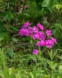 Wild Pink – Silene caroliniana. Wild Pink is a tall mountain wildflower that can found along the Blue Ridge Parkway in Virginia and North Carolina, USA stock images