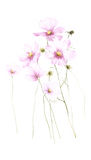 Wild pink watercolor flower isolated on white background Royalty Free Stock Photography
