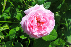 wild pinkrose royaltyfria foton