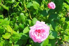 wild pinkrose arkivbild