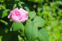 wild pinkrose royaltyfri fotografi