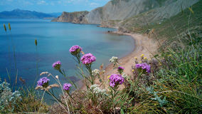 Wild pinks blooming on the shore, the Crimea Stock Images