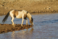 Wild Pinto Stallion Drinking from a water hole Stock Image