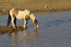 Wild Pinto Stallion at the water hole Royalty Free Stock Photo