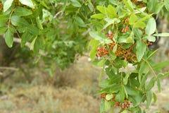 Wild pistachio tree Stock Photo