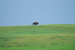 Wild Plains Bison (Bison bison bison) Royalty Free Stock Images