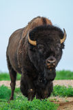 Wild Plains Bison (Bison bison bison) Stock Images