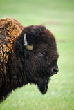Wild Plains Bison (Bison bison bison) Royalty Free Stock Photos