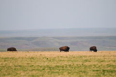 Wild Plains Bison (Bison bison bison) Stock Photo