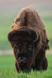 Wild Plains Bison (Bison bison bison) Stock Image