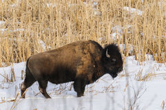 Wild Plains Bison Royalty Free Stock Photography
