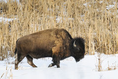 Wild Plains Bison Royalty Free Stock Photo