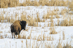 Wild Plains Bison Royalty Free Stock Photos