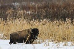 Wild Plains Bison Royalty Free Stock Image