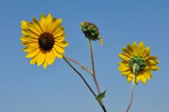 Wild Plains sunflowers Stock Photography