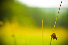 Wild plant. In a green mountain field, shallow dof stock photos