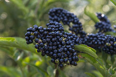 Wild plant. Black berry close-up view Royalty Free Stock Images