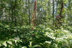 Wild plant of the black false hellebore Veratrum nigrum L. blooms in the birch forest in its natural environment. Summer landscape. Wild plant of the black false royalty free stock photography