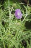 Wild plant Royalty Free Stock Photos