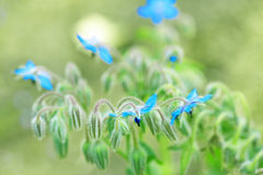 Wild plant blue flower close up Royalty Free Stock Photos