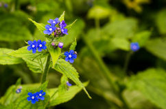 Wild plant. Detail of a wild plant called Anchusa stock images