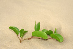 Wild plant grow on beach sand. Green wild plant that grows on the beach with sand all around, stand alone Royalty Free Stock Photos