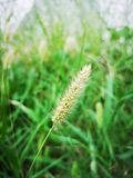 Close up of Setaria plants in the field royalty free stock images