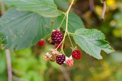 Wild plant raspberries natural environment in the forest. Photo nature stock photo