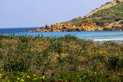 Wild plantation at Ramla l-Hamra Gozo. With a mountain end in background Stock Images
