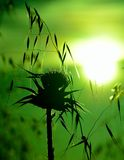 Wild plants backlit at sunrise, oats and milk thistle Royalty Free Stock Images