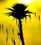 Wild plants backlit on yellow background, oats and milk thistle Stock Image