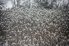 Wild plants covered by fresh snow after winter storm. In Michigan Royalty Free Stock Image