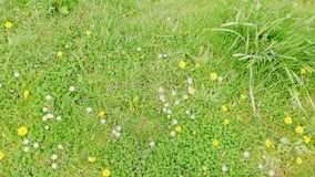 Daisies and dandelions 6. Wild plants in a field, natural plants, England stock photography