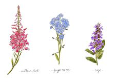 Wild plants and flowers hand drawn in color. Willow, forget-me-not and sage. Herbal vector illustration. Stock Image