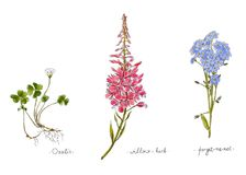 Wild plants and flowers hand drawn in color. Willow, oxalis and forget-me-not. Herbal vector illustration. Wild plants and flowers hand drawn in color. Willow Stock Photos
