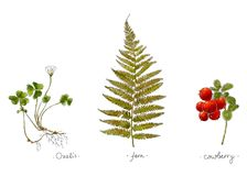 Wild plants hand drawn in color. Oxalis, fern and cowberry. Herbal vector illustration. Wild plants hand drawn in color. Oxalis, fern and cowberry. Herbal Stock Image