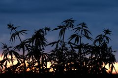 Silhouette of cannabis bushes against the background of sunset or dawn. Wild plants of the hemp family. Wild plants of the hemp family. Silhouette of cannabis royalty free stock photos