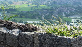Wild plants. On ruined stone wall with hill background Stock Images
