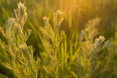 Wild plants at sunset. Meadow plants in backlight at sunset Royalty Free Stock Photos