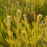 Wild plants at sunset. Meadow plants in backlight at sunset Royalty Free Stock Image