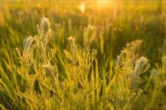 Wild plants at sunset. Meadow plants in backlight at sunset Stock Photos