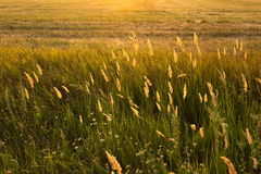 Wild plants. At sunset in summer Royalty Free Stock Image