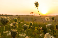 Wild plants. At sunset in summer Stock Images