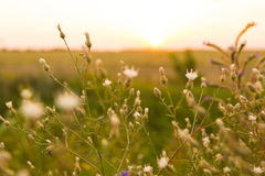 Wild plants. At sunset in summer Stock Image