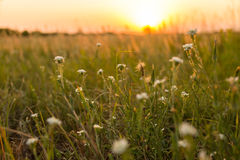Wild plants. At sunset in summer Stock Photos
